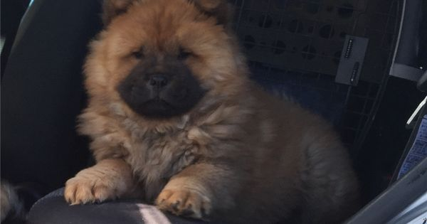 Chow Chow Puppy For Sale Near Amarillo Texas Afd438ac Fd61