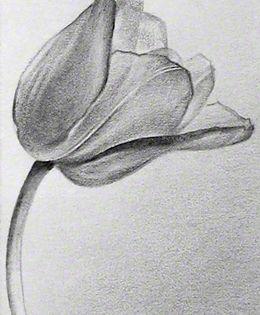 Art | Carolyn Antl | Tulip Drawing | Pinterest | Drawings