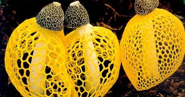 Dictyophora Indusiata