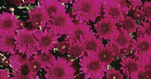 Mum Chrysanthemum X Morifolium Beth Violet Chrysanthemum Autumn Garden North Garden