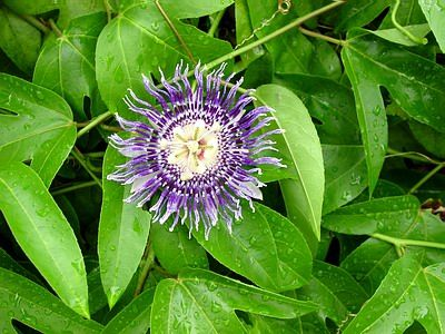 Passion Fruit Facts Health Benefits Nutrition And Pictures Passion Fruit Flower Passiflora Fruit Plants