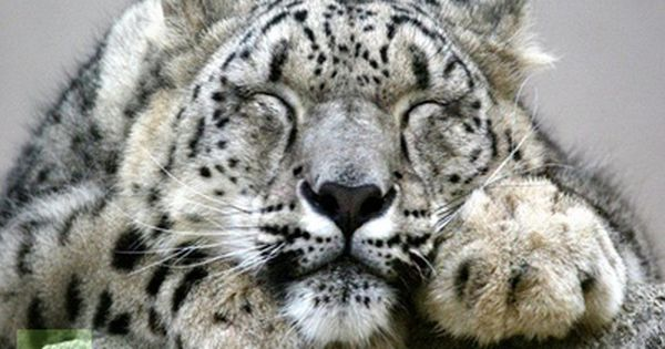 white tiger |