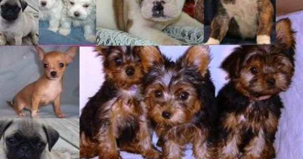 Teacup Maltese Yorkie Chihuahua Pug English Bulldog Boxer