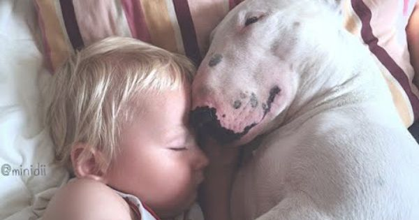 English Bull Terrier And Baby Are Best Friend Cute Dog And