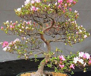 Cherry Blossom Bonsai Tree Care Guide Prunus Serrulata Bonsai Tree Gardener Cherry Blossom Bonsai Tree Flowering Bonsai Tree Bonsai Tree Care