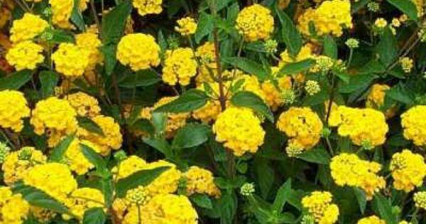 Lantana New Gold Perennial Plants Lantana Plants