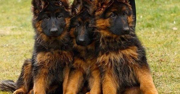 Thepreppyyogini Three Times The Love Want German Shepherd