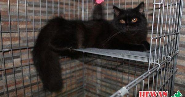 Gambar Kucing Anggora Hitam