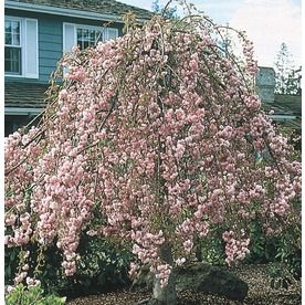 6 Gallon Pink Serpentine Weeping Cherry Feature Tree In Pot With Soil L6111 Nursery Potted Trees Landscaping Tips Trees To Plant