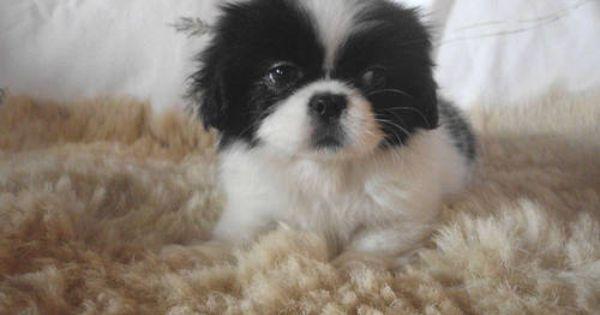 Cute Ckc Small Female Pek A Tzu Pekingese Shih Tzu Puppy Puppies Cute Animals Shih Tzu