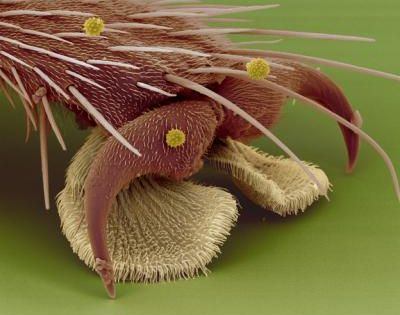 Electron microscope image of a fly foot Credit: S. Gorb