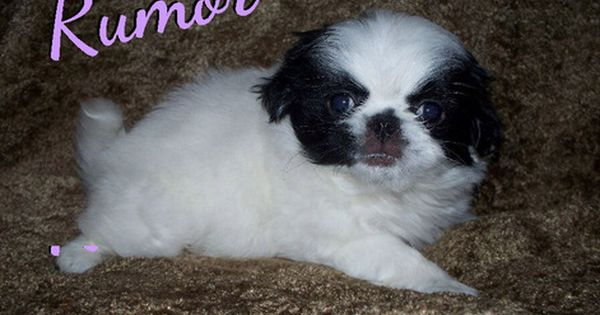 Japanese Chin Puppy For Sale In Lynchburg Va Adn 33611 On