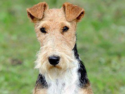 Wire Fox Terrier Price Temperament