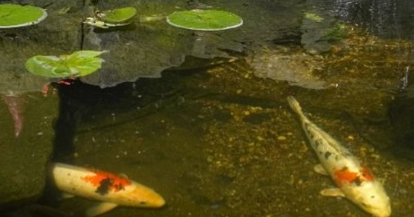 Repurpose an unused hot tub into a pond or bog garden for Koi pond water murky