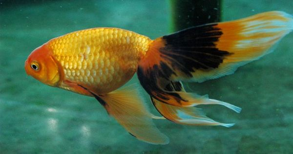 . Gold Fish | Aquaria - Fresh water | Pinterest | Fish ...Fresh Water Aquarium Gold Fish Images