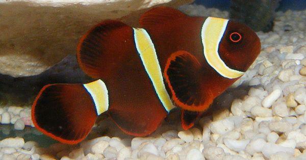 Gold Stripe Maroon Clownfish Clown Fish Weird Fish Fish