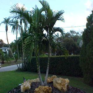 Palm Tree Guide With Illustrations Of Different Types Of Palm Trees Alexander Palms Palm Tree Types Palm Trees Landscaping