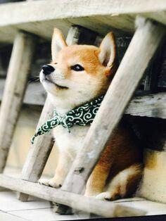 Shiba Inu Puppy Tiere Niedliche Tiere Susse Tiere
