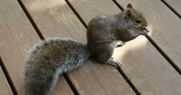 How To Get Rid Of Squirrels On A Patio Ehow Get Rid Of Squirrels Squirrel Squirrel Repellant
