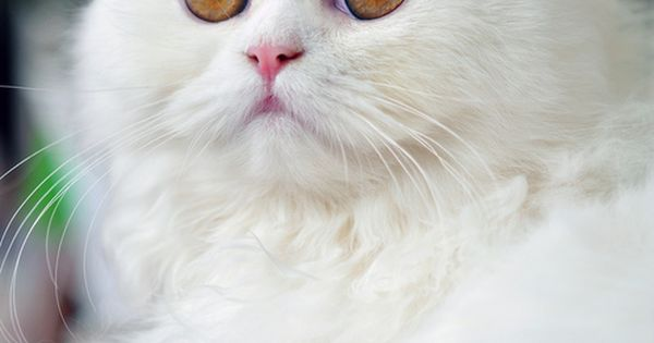 white cat, amber eyes