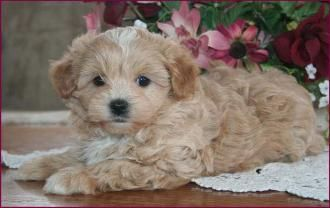 Maltipoo Puppies 4 Sale Apricot Puppy Dog Breeders Iowa