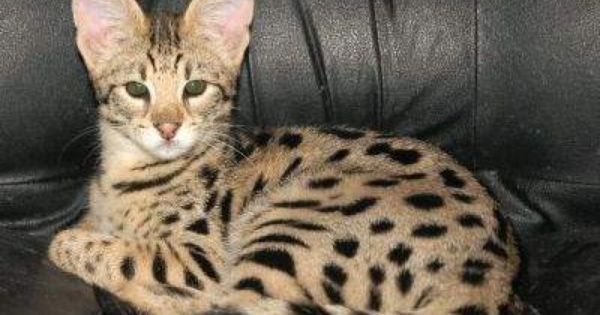 Savannah Cats for Sale Cheap adorable savannah kittens