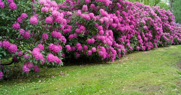 Rhododendron conseils d 39 entretien jardinage for Association entretien jardin