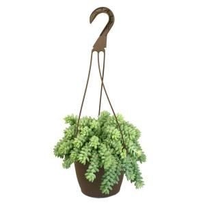 6 In Altman Plants Hanging Basket Donkey Tails Plant One Of These Guys In A White Ceramic Bo Plants For Hanging Baskets Hanging Plants Indoor Hanging Plants