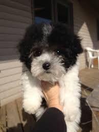 Different Mixed Poodle Breeds Poodle Mix Designer Dogs Poodle