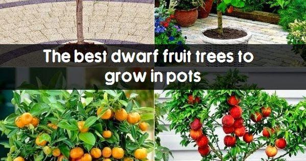 the best dwarf fruit trees to grow in pots  fruit gardening  my