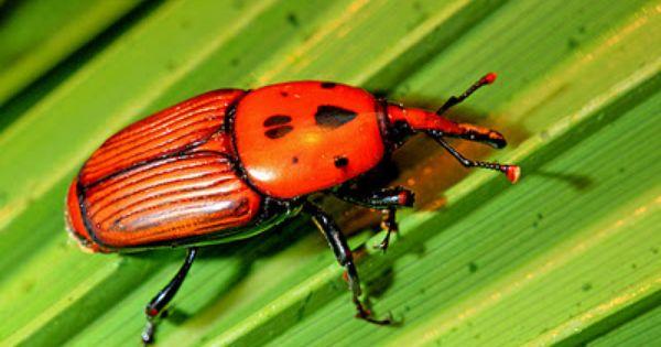 Escarabajo Picudo Rojo Destructor De Palmeras Escarabajo Verde Palmeras