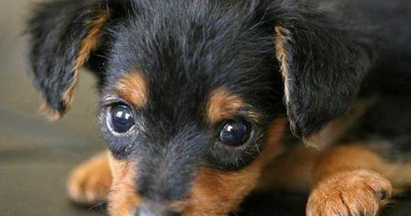 Dorkie Yorkie Mini Dachsun So Adorable Puppies Cute Dogs Yorkie