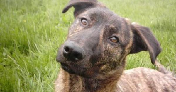 Cursinu U Cursinu Or Chien De Chasse Unique Dog Breeds Hybrid Dogs Popular Dog Breeds