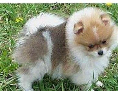 Pom Puppy Pomeranian Puppy For Sale Pomeranian Puppy Puppies For Sale