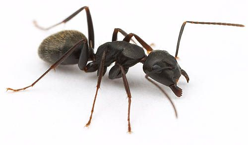 North American Ants With Images Ants North American Ant Species