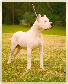 Dogo Argentino Argentine Dogo The Original Us Breeder