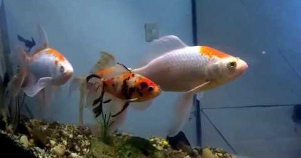 كل ما يخص تربية أسماك الزينة و الإعتناء بأحواض الأسماك الحلقة001 Fish Fish Pet Fish Tank