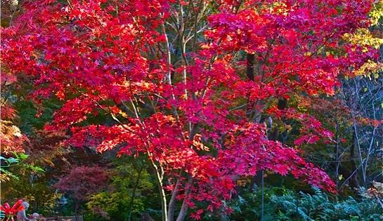 Fireglow Japanese maple is one
