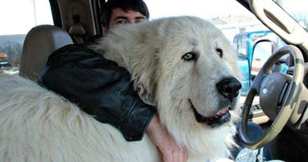 Monster Great Pyrenees Google Search Great Pyrenees Dog Big
