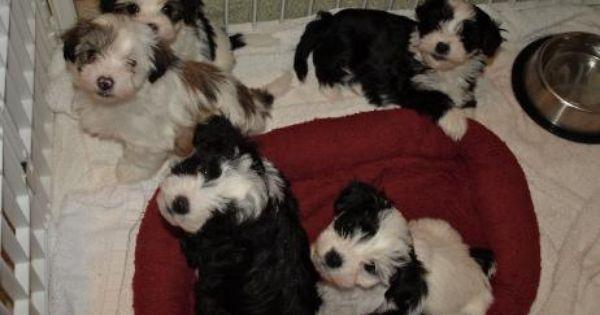 Encore Havanese Puppies Havanese Puppies Puppies Havanese