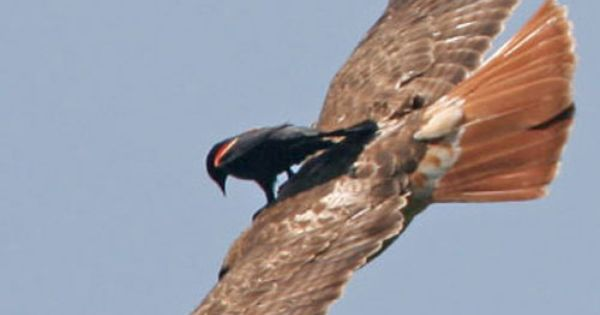 Red-winged Blackbird riding on the back of a Red-tailed Hawk...this is referred