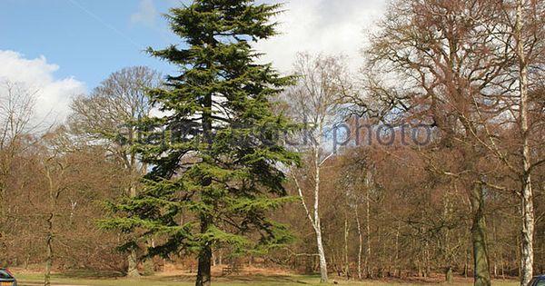 Pin By Mohamed Bouchenafa On Trees Cedar Trees Silver Birch Tree