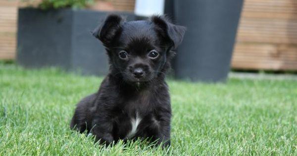 4 Langhaar Chihuahua Aus Schweizer Hobbyzucht 15914251 Chihuahua Hunde Tiere