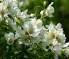 Pruning Mock Orange Philadelphus How And When To Prune Mock Orange Organic Raised Garden Beds Prune