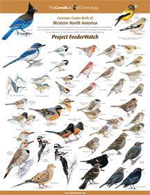 Identifying Birds Feederwatch Identifying Birds Bird