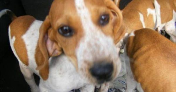 English Coonhound Redtick Pups 2boys 1 Girl Large Baby Red Tick Coonhound English Coonhound Coonhound