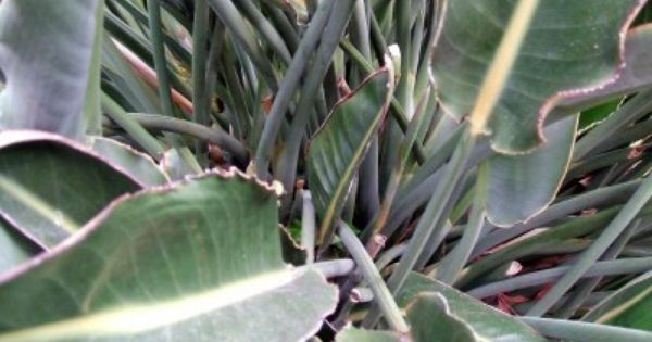 Curling Leaves On Bird Of Paradise Fixes For Leaves Curling Up On Bird Of Paradise Birds Of Paradise Plant Paradise Plant Plants