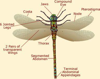 Dragonfly Anatomy Illustration Diagram Of A Dragonfly Dragonfly Animal Adaptations Unit Dragonfly Larvae