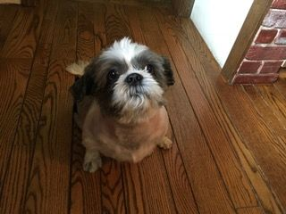 Shih Tzu Dog For Adoption In Haymarket Va Adn 653438 On