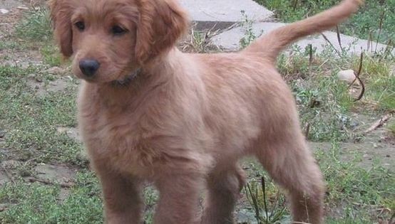 Full grown golden cocker retriever- looks like a puppy forever! This is